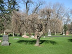 All Saints Parish Cemetery Chicago IL April 22nd 2013 weeping willow tree in cem